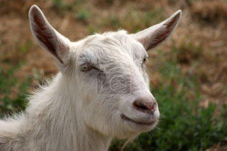 Photo pour Chèvre bouchent shot - image libre de droit