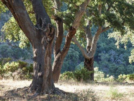 Cork Oak Trees In Spain, Algeciras, Nature Park Los Alcornocales
