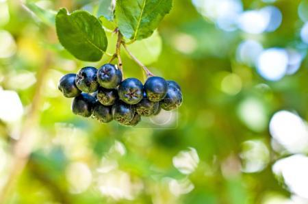 Aronia Berries At Its Bush close up