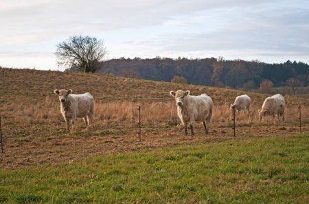 Dun Galloway Bulls grazing on Pasture