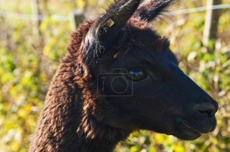 Alpaca, Vicugna Pacos close up