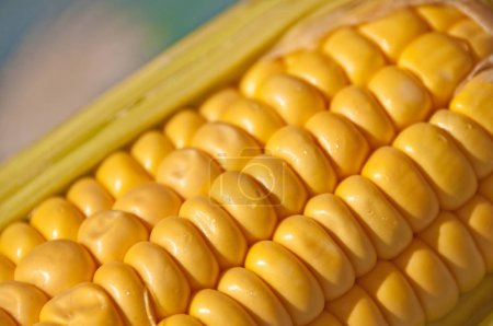 close-up photo of Freshly Harvested Corn Cobs
