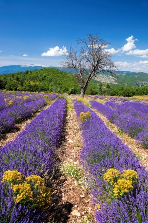 Photo for Lavender field in Provence, near the Sault town in France - Royalty Free Image