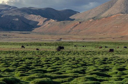 Changthang Plateau ��� Ladakh, Jammu and Kashmir, India