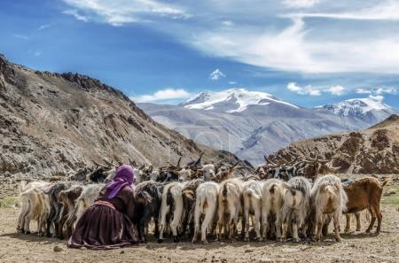 Nomadic woman with sheep at Lake Tsomoriri, India