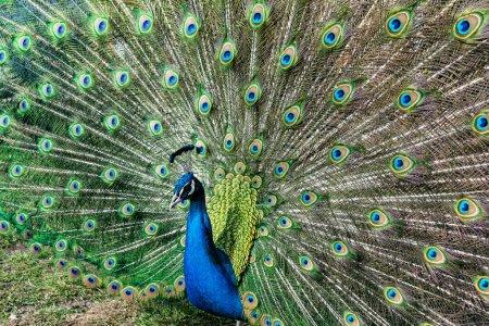 Photo pour Le plus beau oiseau au monde est un paon de la famille des poulets avec une queue large et brillante comme un éventail chic de plumes avec des yeux pour la protection. Un animal de la famille du faisan. - image libre de droit