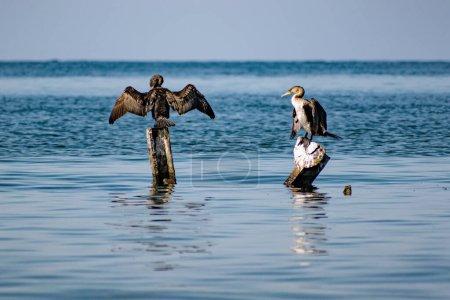 Grandes cormoranes se sientan en los enganches de metal en el medio del mar negro. Especies de aves de tamaño mediano descansan y secan sus alas y plumas al sol