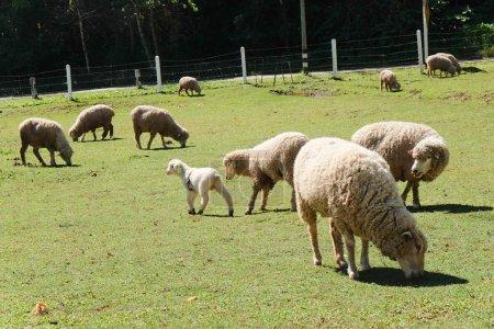 Photo pour Moutons paissant dans la ferme - image libre de droit