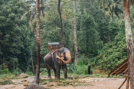 Photo for Elephant in green tropical forest at Ko Pha-ngan island, Thailand - Royalty Free Image