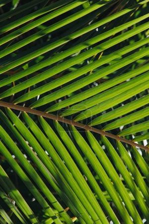 Photo for Close-up view of beautiful green palm leaves at Thoddoo island, Maldives - Royalty Free Image