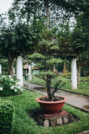 Photo pour Vue rapprochée du magnifique bonsaï vert qui pousse en pot, Ho Chi Minh, Vietnam - image libre de droit