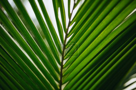 Photo for Close-up view of beautiful green palm leaves, Hoi An, Vietnam - Royalty Free Image