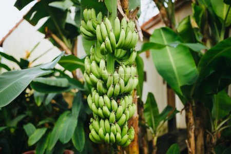 Photo for Close-up view of green bananas growing on tree in Hoi An, Vietnam - Royalty Free Image