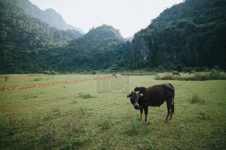 Photo for Cattle grazing on green grass in mountains, Phong Nha Ke Bang National Park, Vietnam - Royalty Free Image
