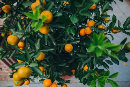 Photo for Close-up view of tangerines growing on green tree in Hanoi, Vietnam - Royalty Free Image