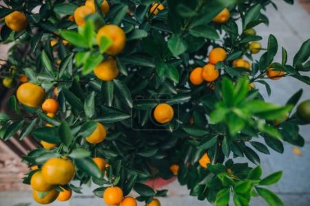 Photo pour Vue rapprochée de mandarines poussant sur un arbre vert à Hanoi, Vietnam - image libre de droit