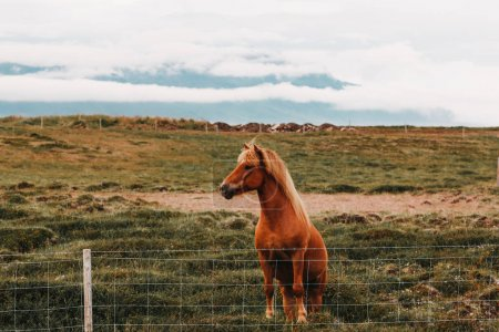 beautiful brown horse standing on green grass behind fence in northern iceland