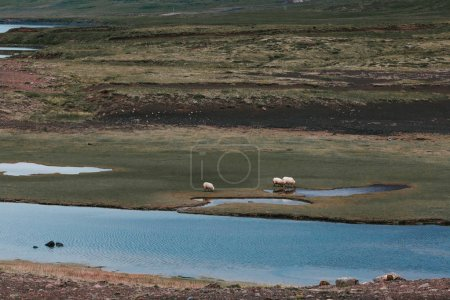 majestic view of sheep grazing on pasture near water in iceland