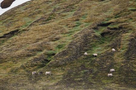 Photo pour Vue d'angle élevé de moutons paissant sur des collines herbeuses en Islande - image libre de droit