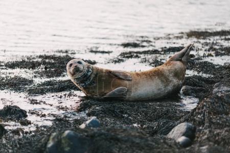 Photo pour Lion de mer sur la côte parsemée de rochers et algues dans ytri tunga, Islande - image libre de droit