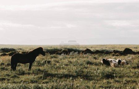 Photo pour Beau cheval et moutons paissant dans les verts pâturages en Islande - image libre de droit