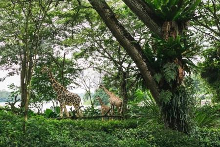 Photo for SINGAPORE - JAN 19, 2016: wild giraffes in natural habitat among trees with green leaves - Royalty Free Image