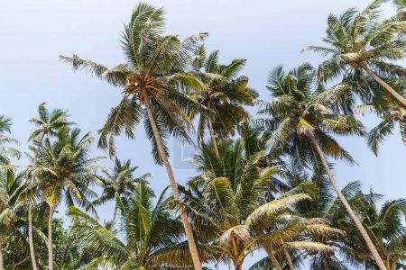 Photo pour Vue du bas des palmiers contre un ciel bleu clair, sri lanka, unawatuna - image libre de droit