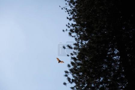 Photo pour Vue de dessous de roussette sauvages chauve-souris volant à proximité d'arbres, sri lanka, kandy - image libre de droit