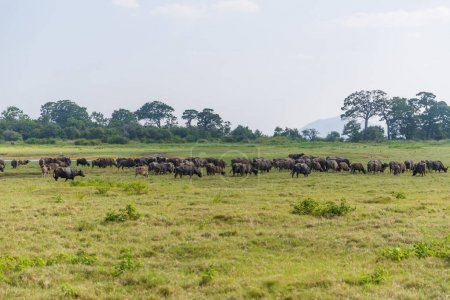 Photo for Scenic view of heard of wild bulls in natural habitat on field, sri lanka, minerriya - Royalty Free Image