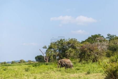 Photo pour Vue panoramique sur les éléphants sauvages dans l'habitat naturel sur le terrain, sri lanka, minneriya - image libre de droit