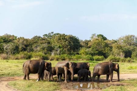 Photo for Scenic view of wild elephants in natural habitat, Asia, sri lanka, minneriya - Royalty Free Image