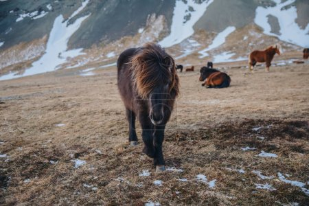 Photo for Beautiful brown icelandic horses grazing on pasture with snow, snaefellsnes, iceland - Royalty Free Image