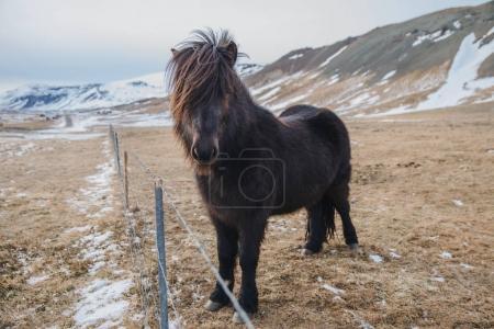 Foto de Pie de caballo peludo negro hermoso cerca de cerca en pasto, Islandia, snaefellsnes - Imagen libre de derechos