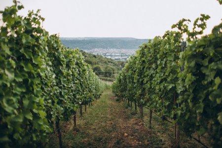 grapes plantations