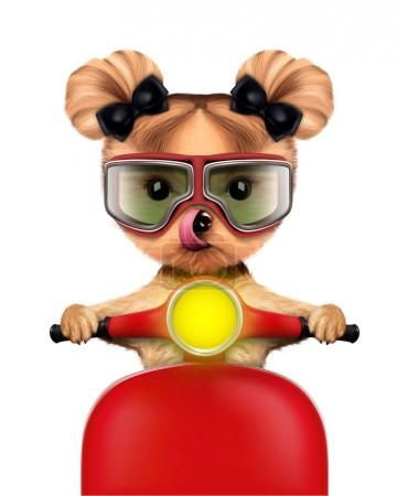Adorable girl of yorkie sitting on a motorbike