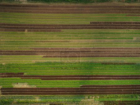 Photo for Aerial view of beautiful agricultural fields with rows of greenery, europe - Royalty Free Image