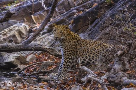 Indian Leopard, Panthera pardus fusca. Ranthambhore Tiger Reserve