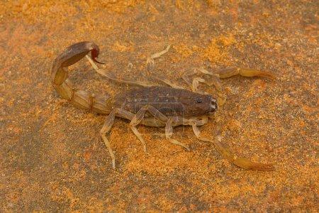 Fat tailed scorpion genus Lychas