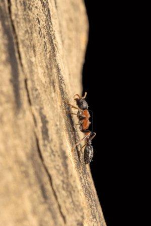 Arboreal bicolored ant, Formicidae, Aarey milk colony Mumbai