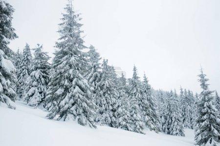 Photo pour Couvrant les conifères dans les montagnes Gorgany de neige - image libre de droit