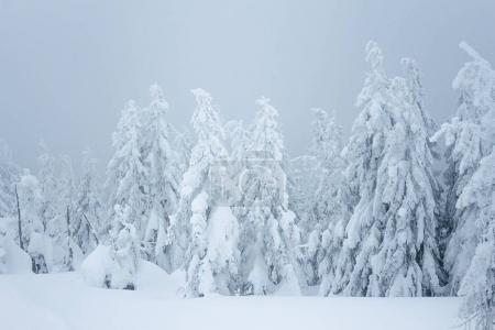 Photo pour Conifères durant blizzard dans les Carpates - image libre de droit