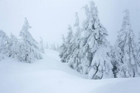 Photo pour Couverture de neige Gorgany montagnes forêt d'hiver - image libre de droit