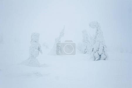 Photo pour Blizzard des neiges dans le brouillard Forêt des montagnes de Gorgany - image libre de droit