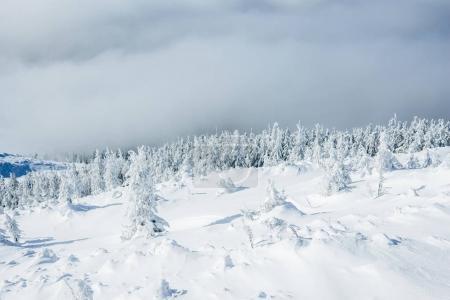 Photo pour Forêt magnifique hiver dans les montagnes de Gorgany - image libre de droit