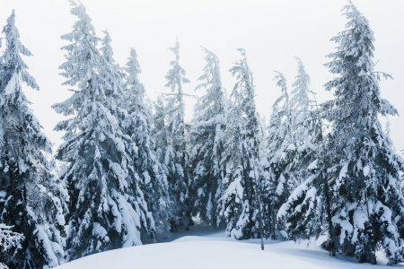 Foto de Árboles cubiertos de nieve en las montañas de Gorgany invierno - Imagen libre de derechos