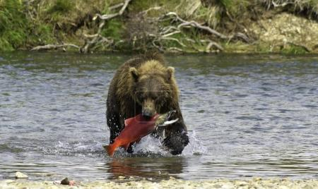 Alaskan bear fishing