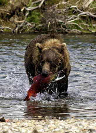Alaskan bear fishing salmons in Katmai