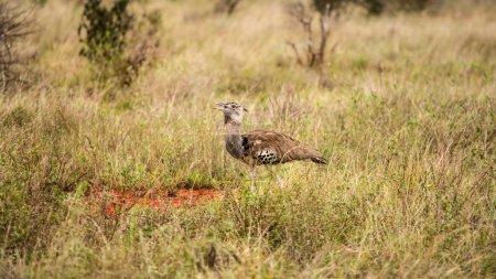 Kori bustard (Ardeotis kori struthiunculus) walking in grass. Ts