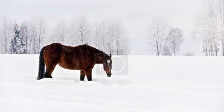 Photo pour Cheval brun foncé patauge lentement dans un champ enneigé en hiver, tête en bas . - image libre de droit
