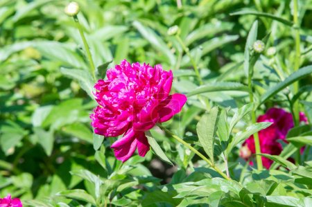 Flowers peonies. a herbaceous or shrubby plant of north temperate regions, which has long been cultivated for its showy flowers.